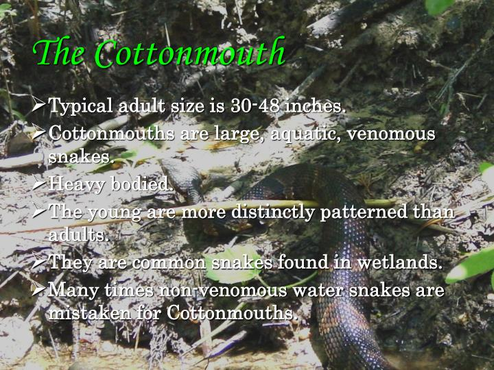 The Cottonmouth