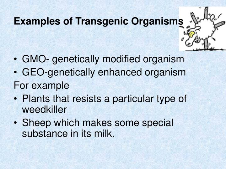 Examples of Transgenic Organisms