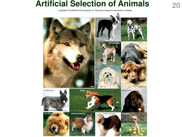 Artificial Selection of Animals