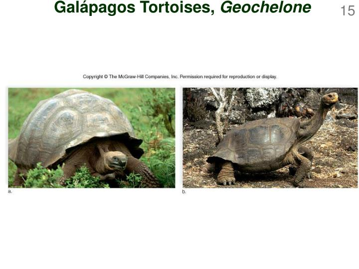Galápagos Tortoises,