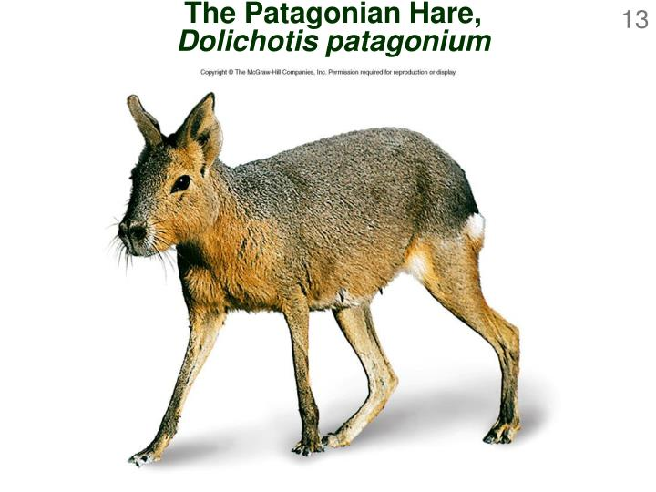 The Patagonian Hare,