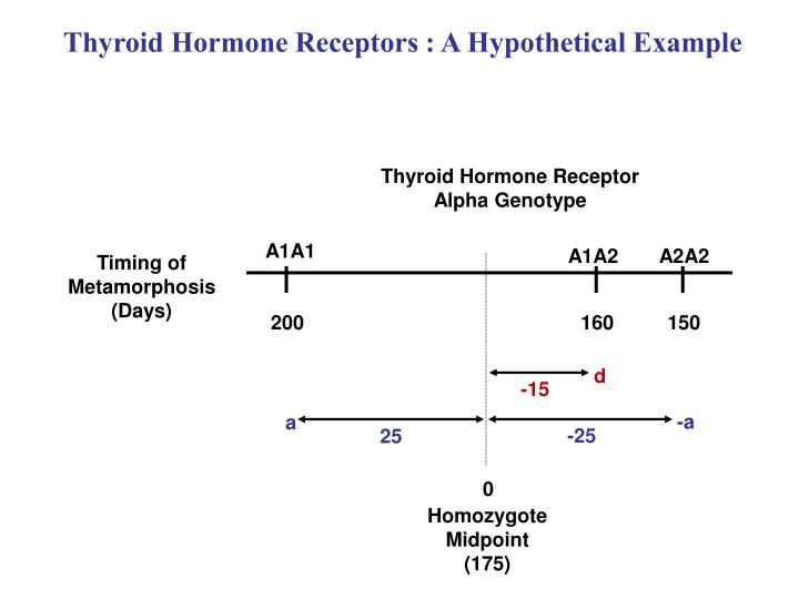 Thyroid Hormone Receptors : A Hypothetical Example