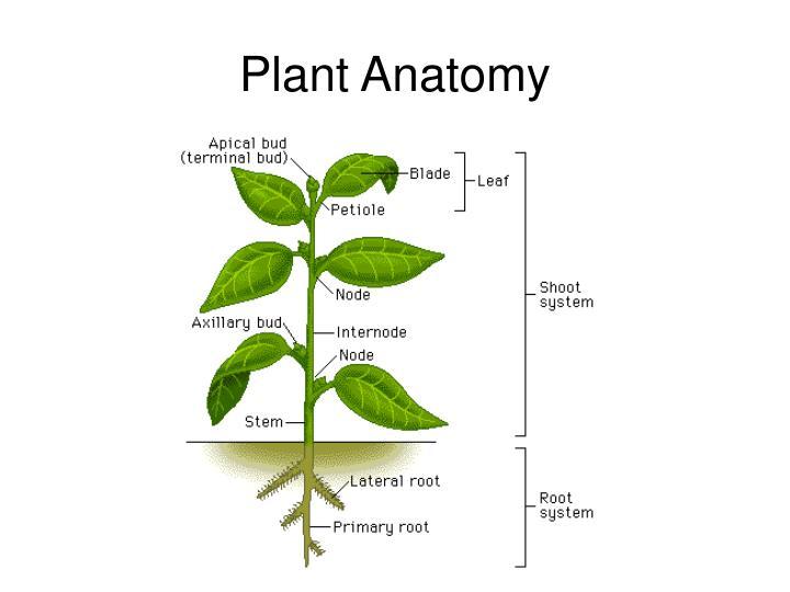 Plant Anatomy