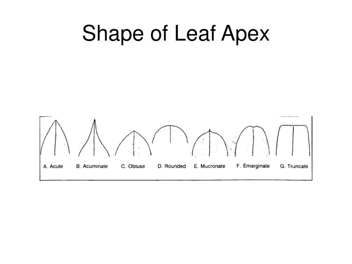 Shape of Leaf Apex