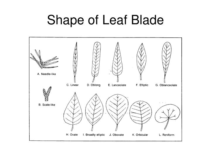 Shape of Leaf Blade