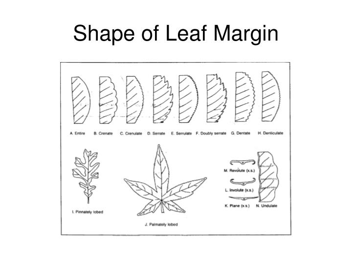 Shape of Leaf Margin