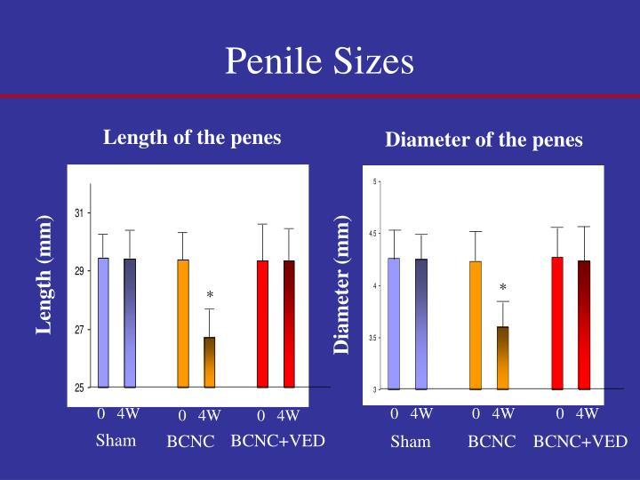 Penile Sizes
