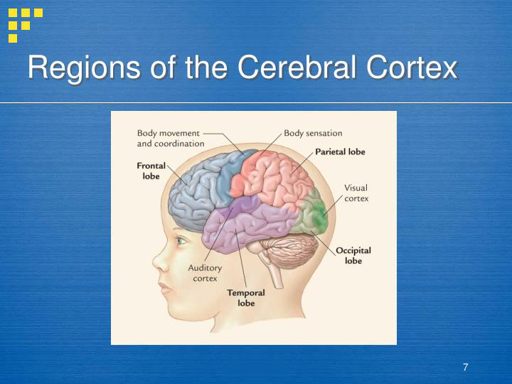 Regions of the Cerebral Cortex