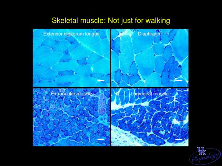 Skeletal muscle: Not just for walking