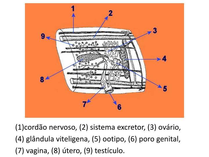 (1)cordão nervoso, (2) sistema excretor, (3) ovário,