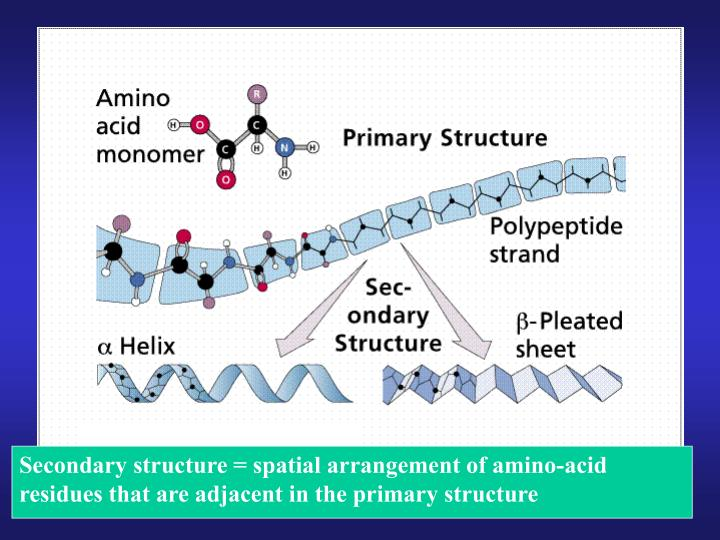 Secondary structure = spatial arrangement of amino-acid residues that are adjacent in the primary structure