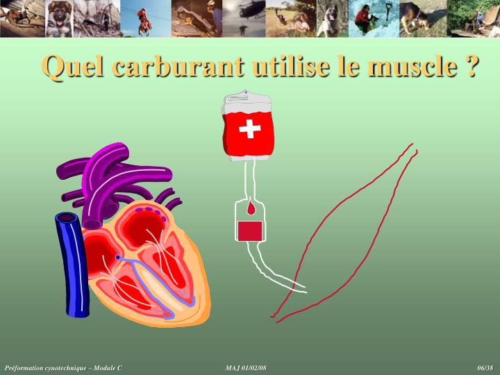 Quel carburant utilise le muscle ?