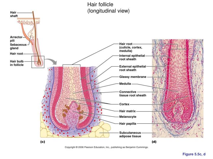 Hair follicle (longitudinal view)