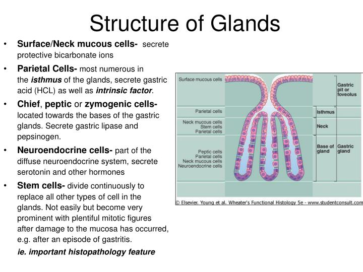 Structure of Glands