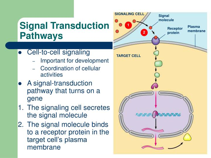 SIGNALING CELL