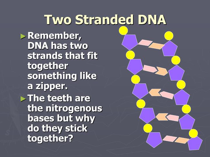 Two Stranded DNA