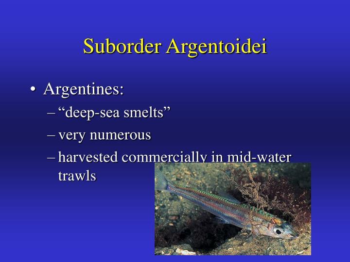 Suborder Argentoidei