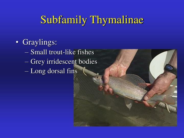 Subfamily Thymalinae