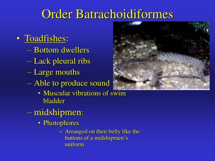 Order Batrachoidiformes