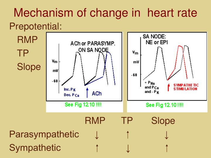 Mechanism of change in  heart rate
