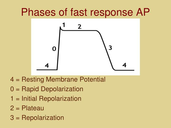 Phases of fast response AP