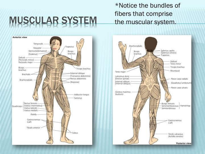*Notice the bundles of fibers that comprise the muscular system.