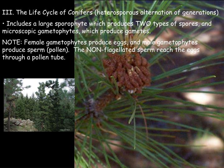 III. The Life Cycle of Conifers (heterosporous alternation of generations)