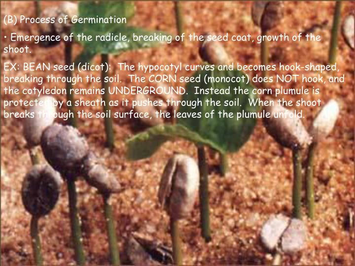 (B) Process of Germination