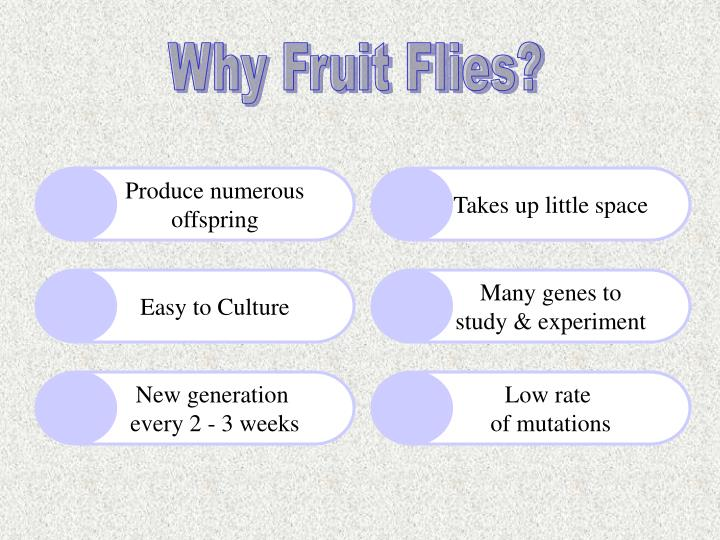 Why Fruit Flies?