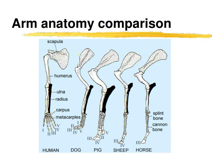 Arm anatomy comparison