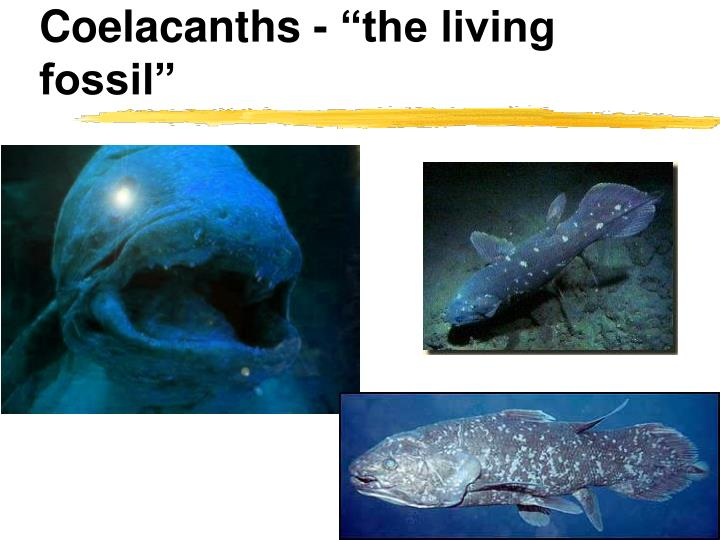 "Coelacanths - ""the living fossil"""
