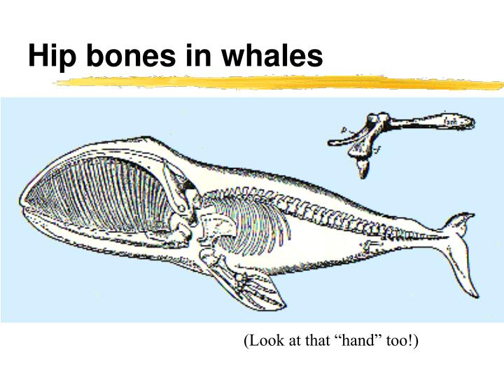 Hip bones in whales