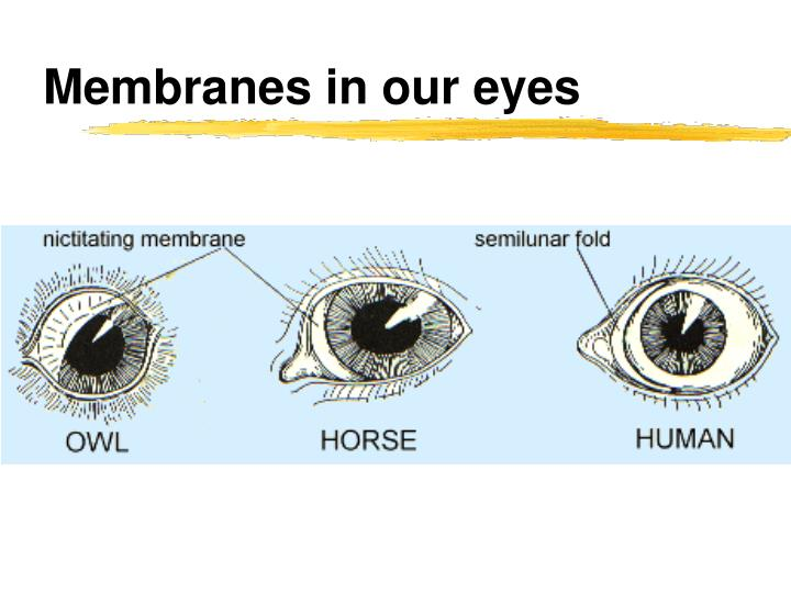 Membranes in our eyes