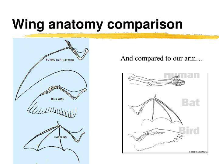 Wing anatomy comparison