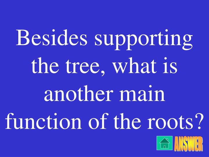 Besides supporting the tree, what is another main function of the roots?