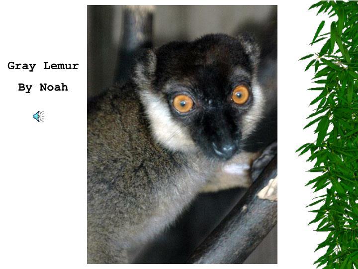 Gray Lemur