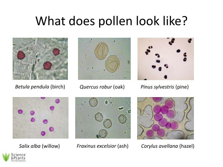 What does pollen look like?