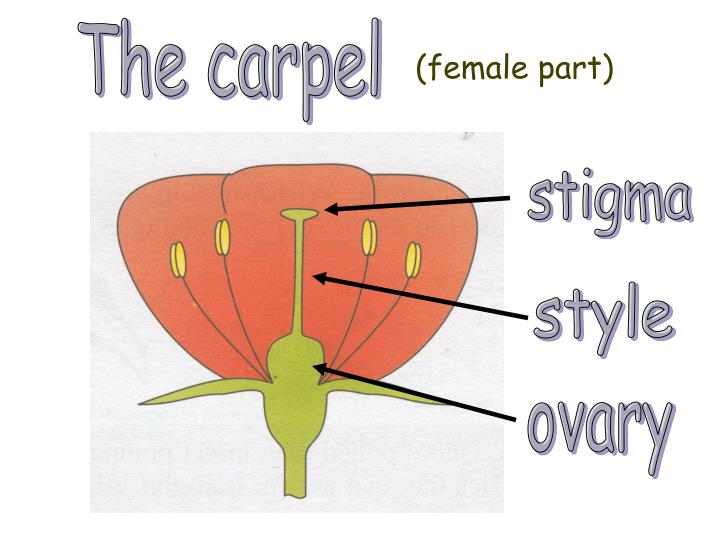 The carpel