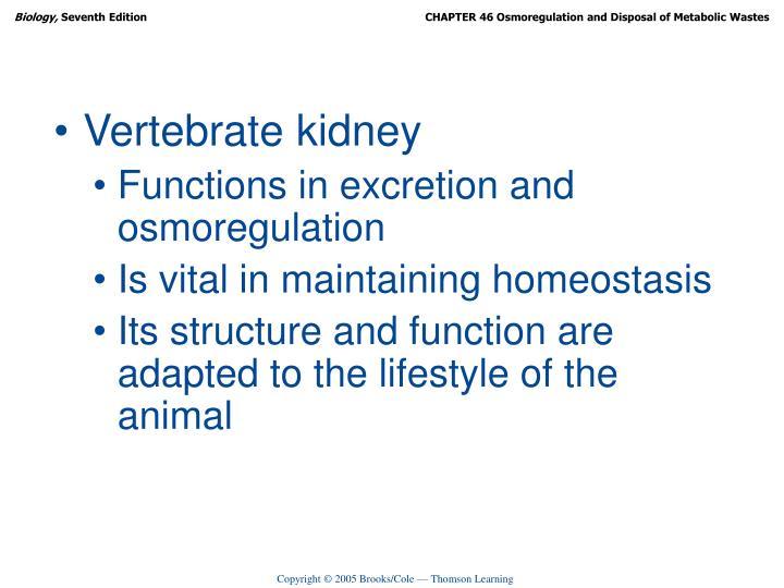 Vertebrate kidney