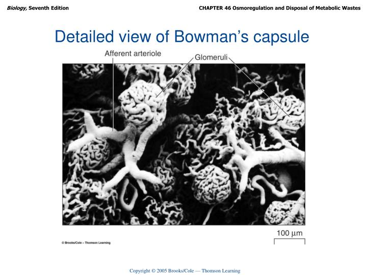 Detailed view of Bowman's capsule