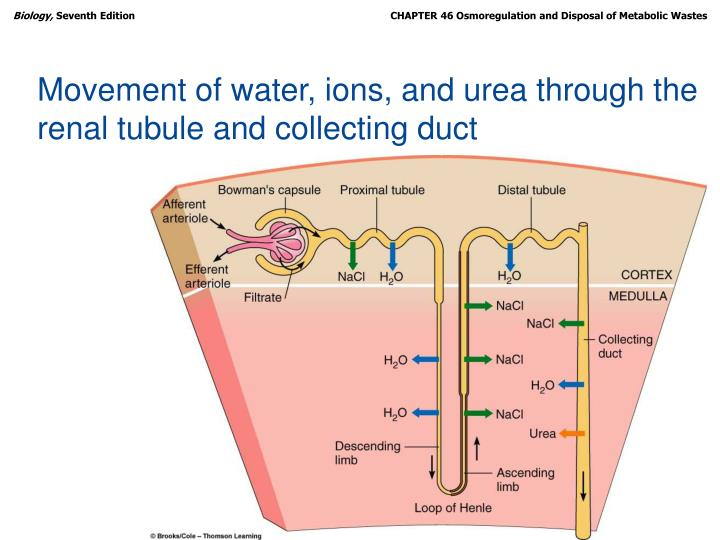 Movement of water, ions, and urea through the renal tubule and collecting duct