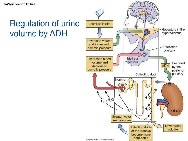 Regulation of urine volume by ADH