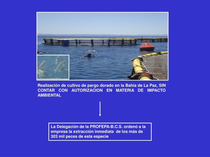 Realización de cultivo de pargo dorado en la Bahía de La Paz, SIN CONTAR CON AUTORIZACION EN MATERIA DE IMPACTO AMBIENTAL