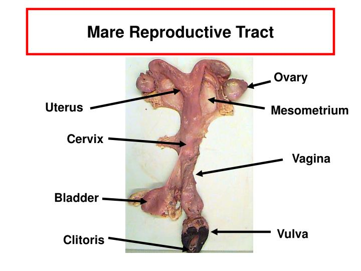 ppt - mare reproductive tract powerpoint presentation - id:1756458, Human Body
