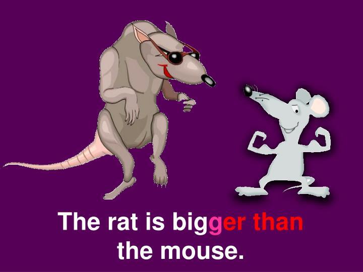 The rat is big