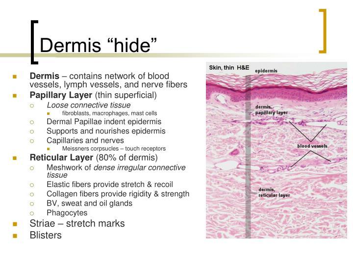 "Dermis ""hide"""
