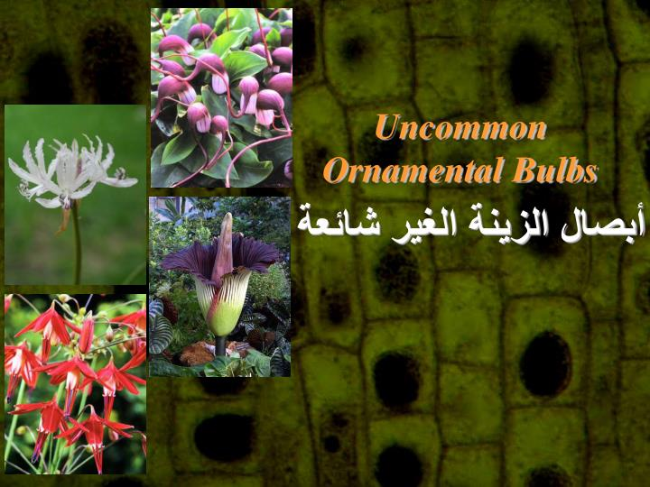 Uncommon Ornamental Bulbs