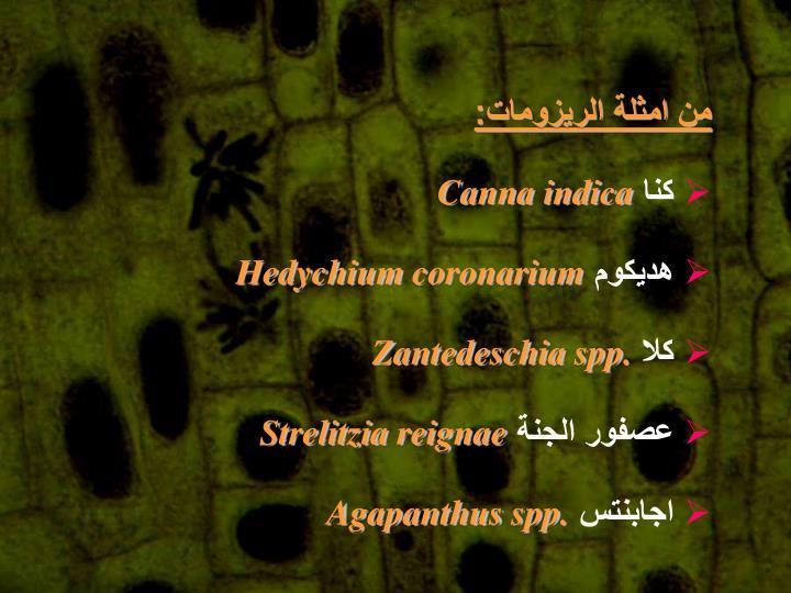 من امثلة الريزومات: