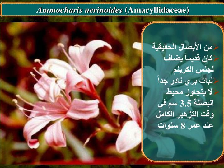 Ammocharis nerinoides