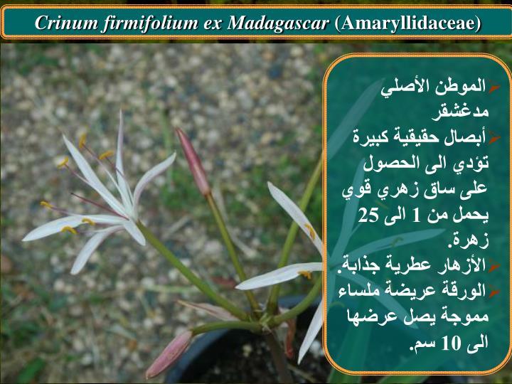 Crinum firmifolium ex Madagascar